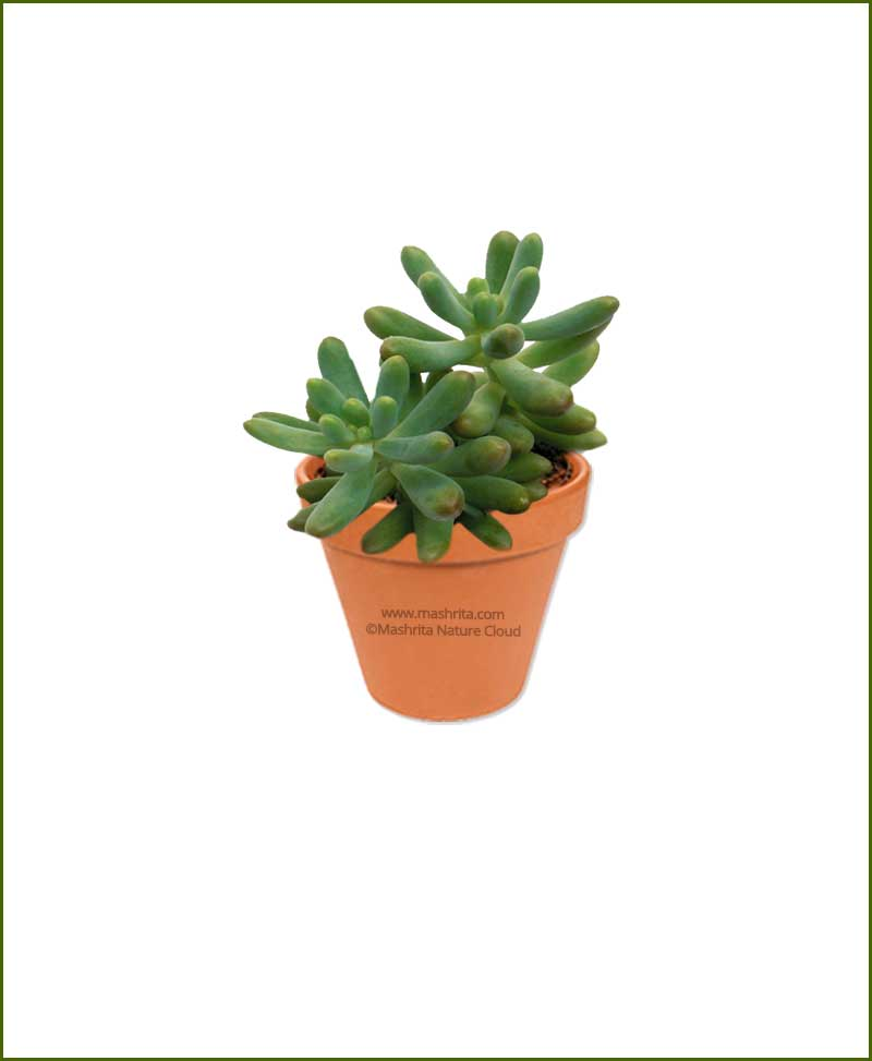 sedum pachyphyllum online plant nursery. Black Bedroom Furniture Sets. Home Design Ideas