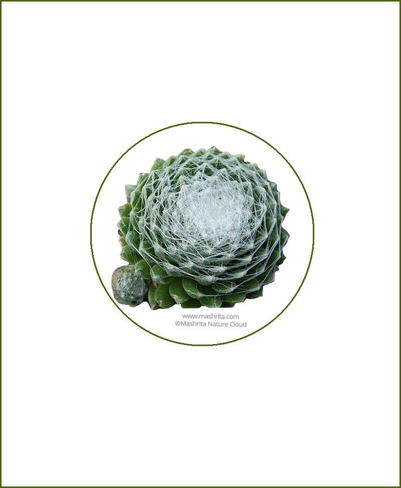 Sempervivum-Arachnoideum-Online-Plant-Nursery