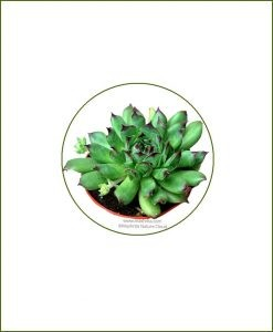 Sempervivum-Tectorum-Online-Plant-Nursery