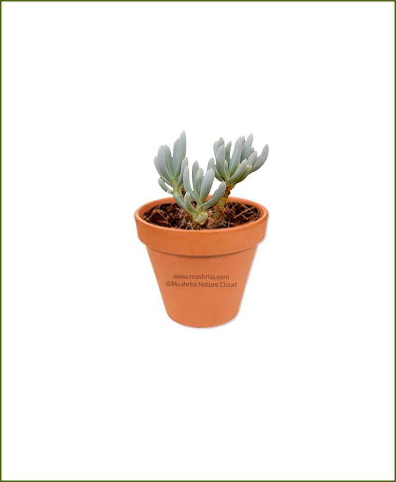 Senecio-Serpens-Online-Plant-Nursery