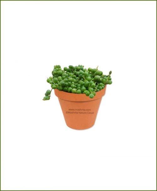 Senecio-rowleyanus-String-of-Pearls-Online-Plant-Nursery