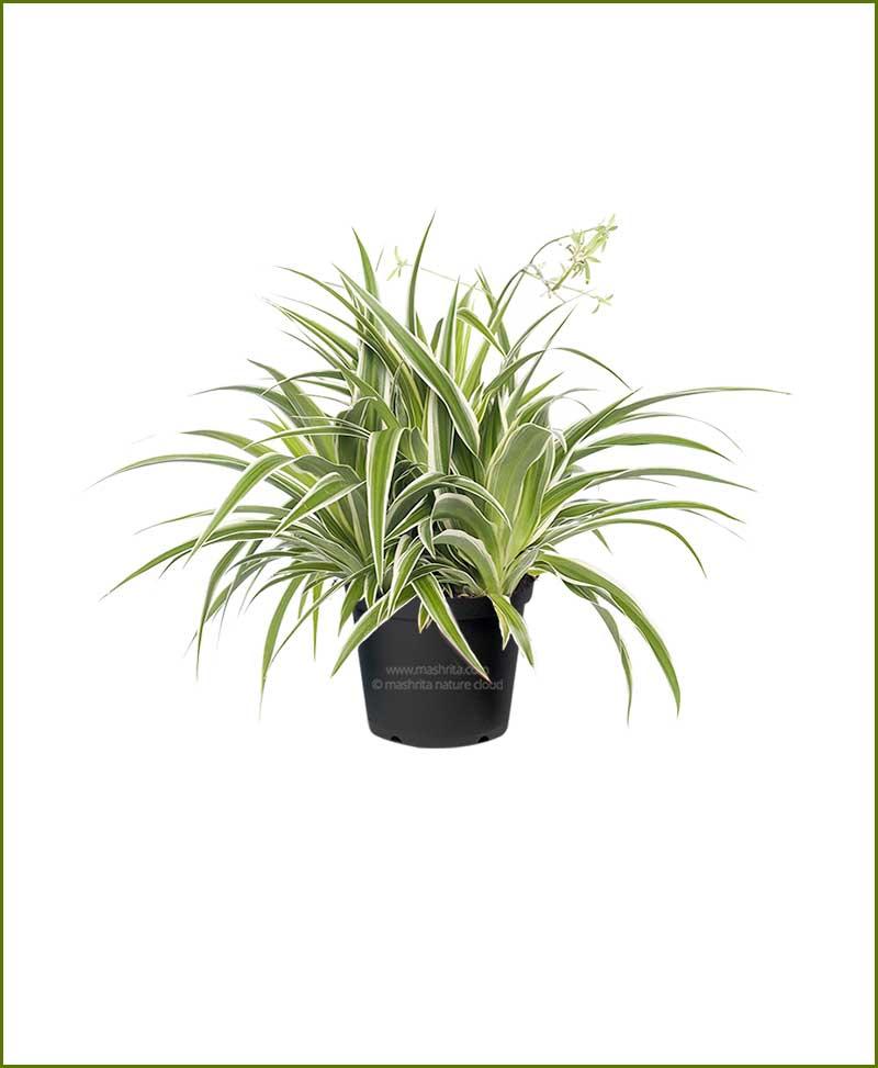 Spider Plant Chlorophytum Bichetii
