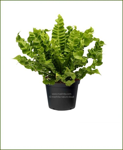 Supreme-Cobra-Fren-(Asplenium-Nidus)_Mashrita_Nature_Cloud