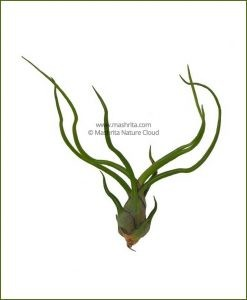Tillandsia-Bulbosa_Mashrita_Nature_Cloud