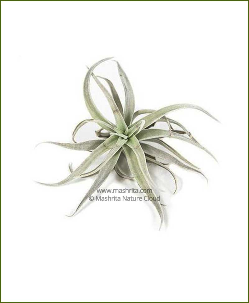 Tillandsia-Harrisii_Mashrita_Nature_Cloud