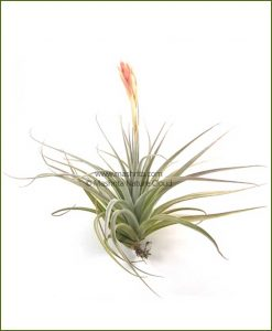 Tillandsia-Houston_Mashrita_Nature_Cloud