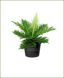 Tree-Fern-Silver-Lady-Fern-(Blechnum-Gibbum)_Mashrita_Nature_Cloud