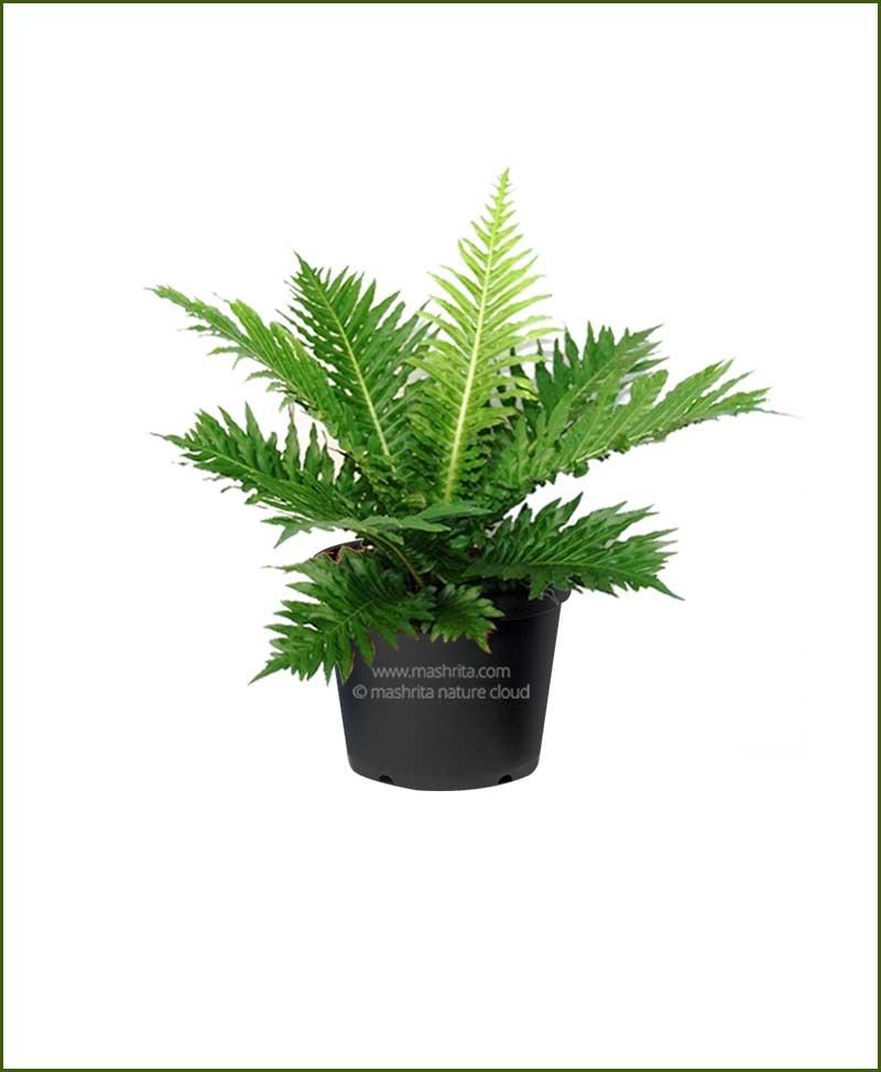 Tree Fern, Silver Lady Fern (Blechnum Gibbum)