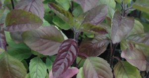 Tulsi Holy Basil Types