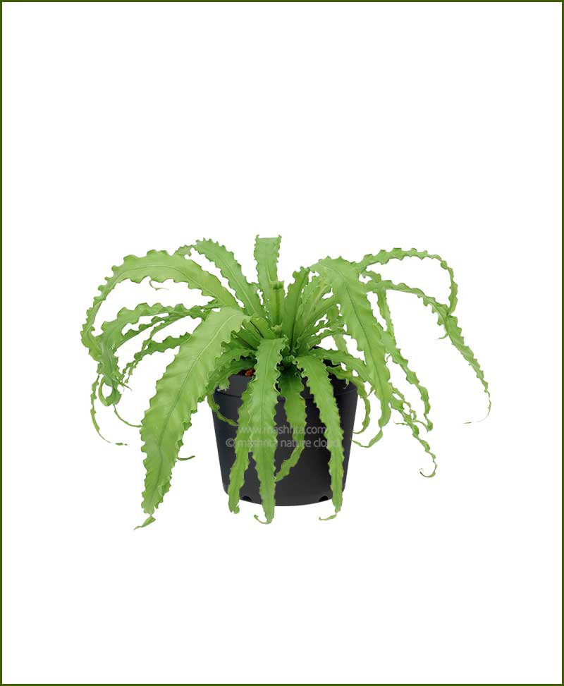 Victoria-Bird-Nest-Fern-(Asplenium-Victoria)_Mashrita_Nature_Cloud