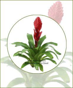 Vriesea-Poelmanii-Online-Plant-Nursery