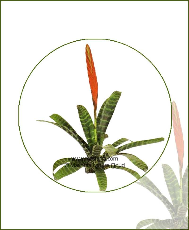 Vriesea-Species-Online-Plant-Nursery