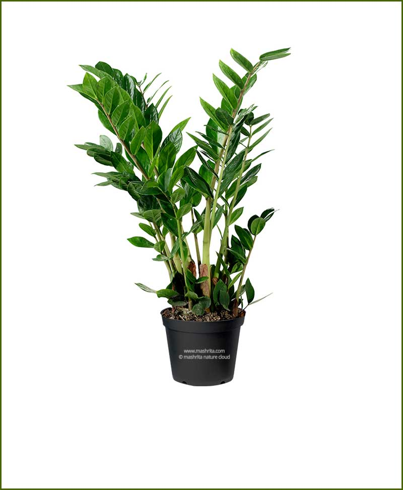 Zamioculcas-Zamiifolia-Large-(ZZ-Plant)_Mashrita_Nature_Cloud