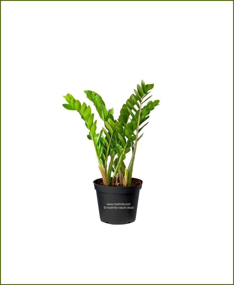 Zamioculcas-Zamiifolia-Medium-(ZZ-Plant)_Mashrita_Nature_Cloud