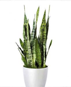 sansevieria_Airpurifier_Mashrita_Nature_Cloud