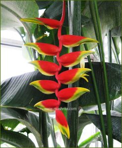 Heliconia Drooping (Heliconia Rostrata)