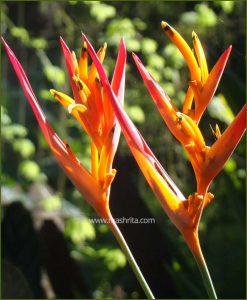 Heliconia Lady Diana (Heliconia Psittacorum)