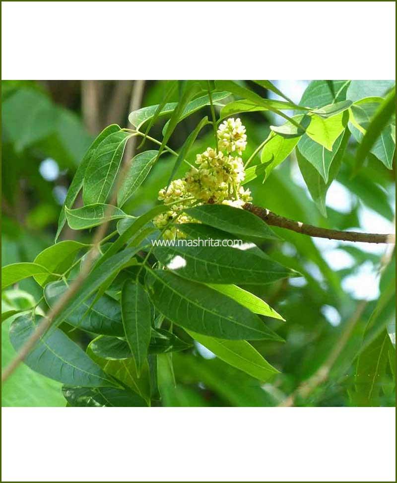 ©MNCMahogani(Swietenia-Macrophylla)