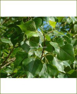 Poplar - (Populus)