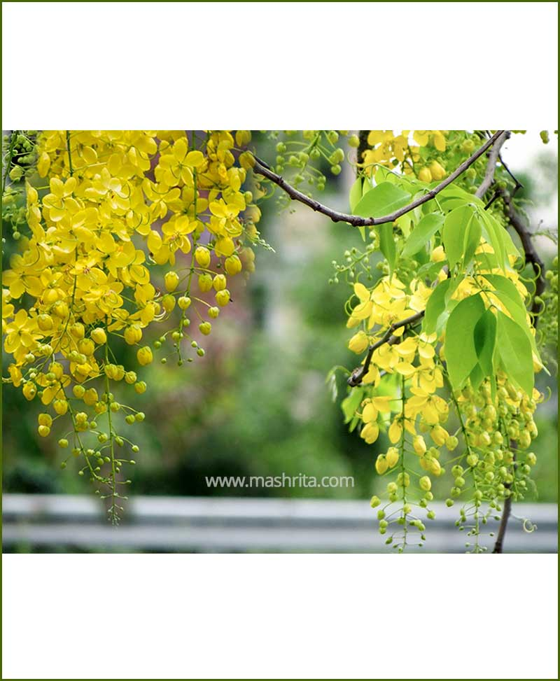 Amaltas - Golden Shower (Cassia Fistula)