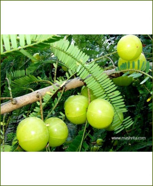 Amla Indian Gooseberry (Phyllanthus Emblica)