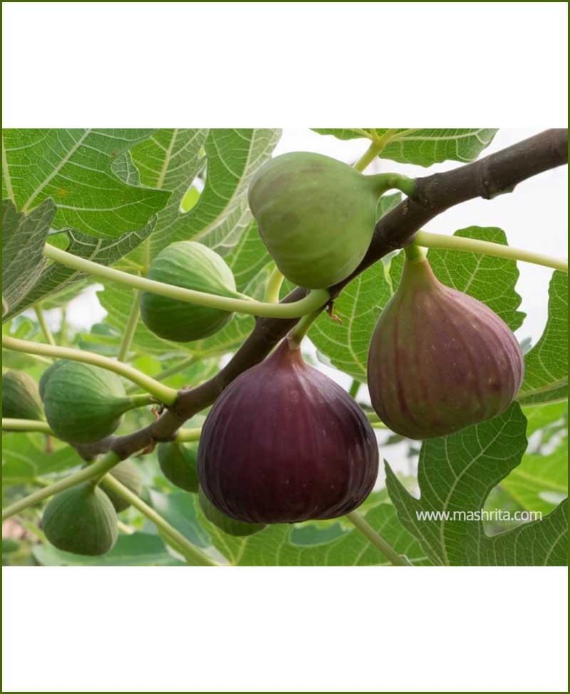 Anjeer-Common-Fig-(Ficus-Carica)_Mashrita_Nature_Cloud
