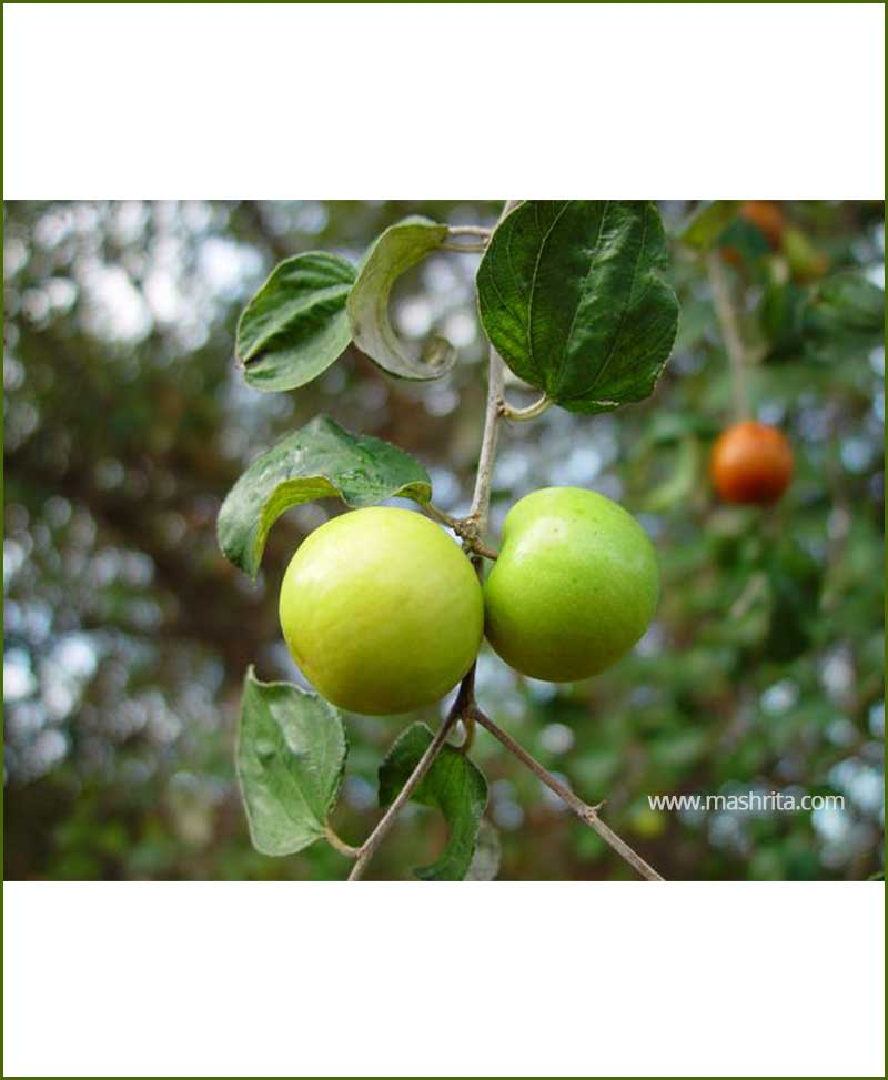 Apple Ber (Ziziphus Mauritiana)_Mashrita_Nature_Cloud
