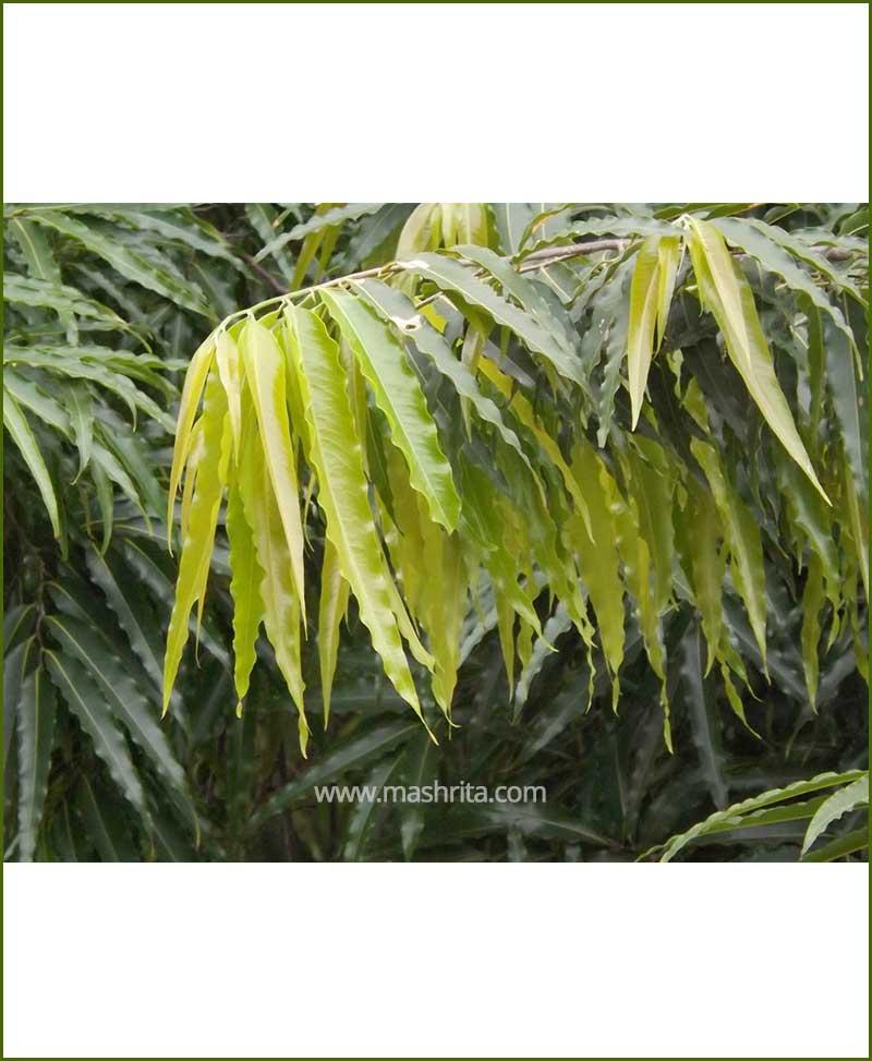 Ashoka Pendula (Polyalthia Longifolia Pendula)