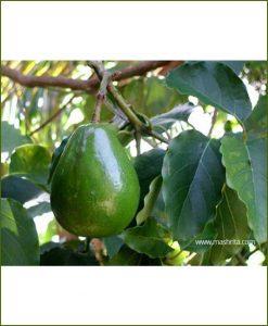 Avocado (Persea Americana)_Mashrita_Nature_Cloud