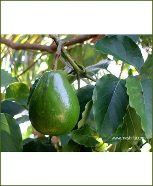 Avocado (Persea Americana)_Mashrita_Nature_Cloud