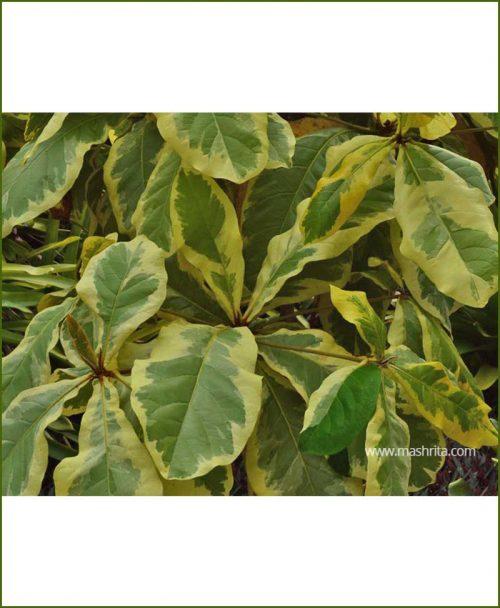 Badam Almond Variegated (Terminalia Catappa)
