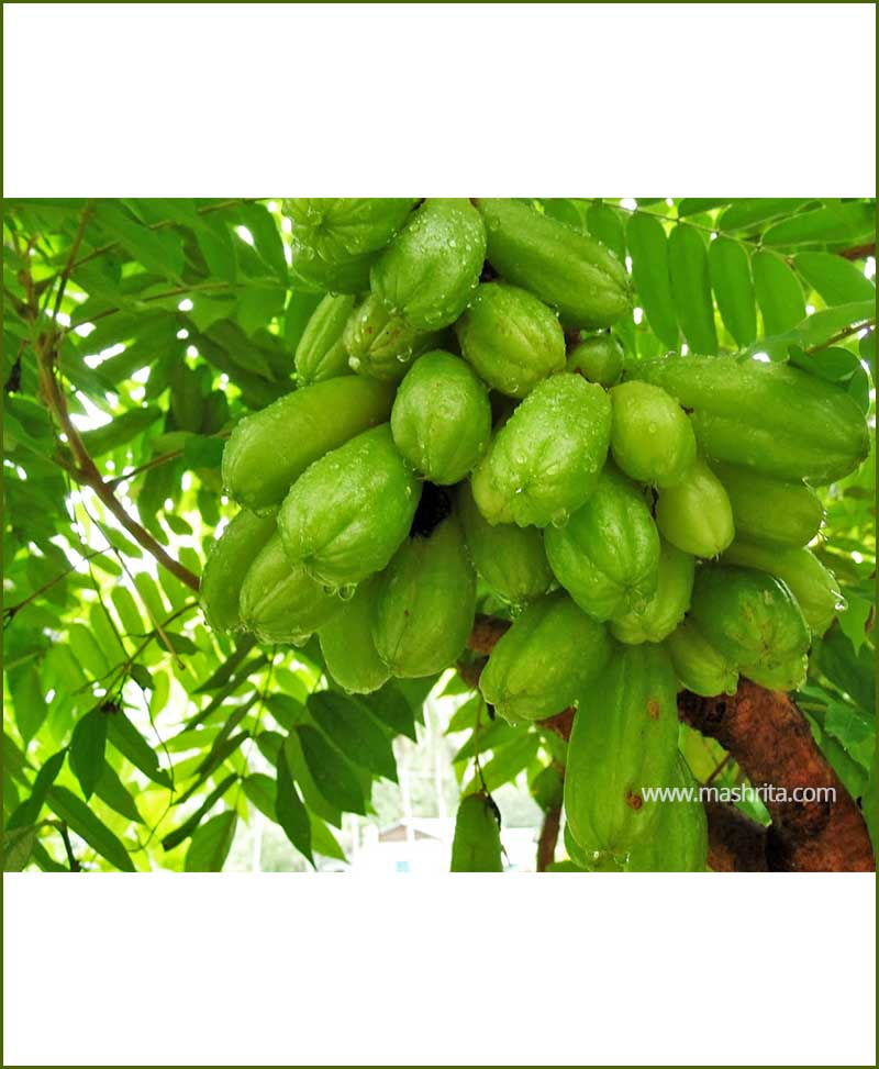 Bilimbi-(Averrhoa-Bilimbi)_Mashrita_Nature_Cloud