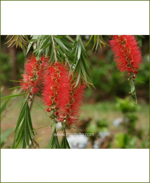 Cheel - Bottle brush (Callistemon Viminalis)