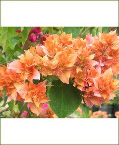 Bougainvillea Double Orange