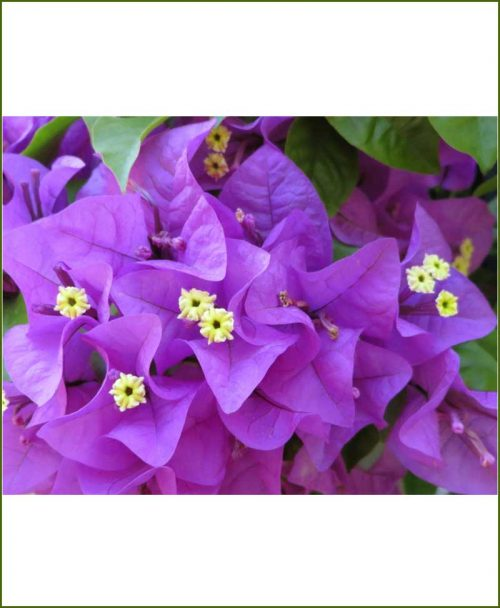 Bougainvillea Double Purple
