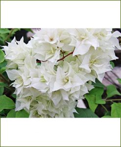 Bougainvillea Double White