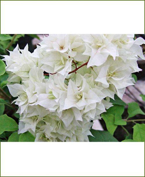 Bougainvillea Double White