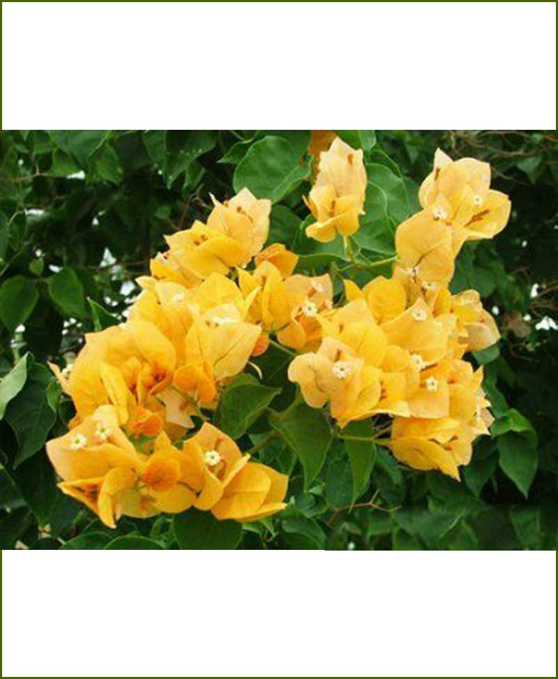 Bougainvillea Double Yellow