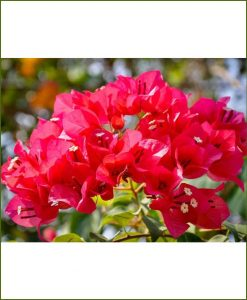 Bougainvillea Double Red