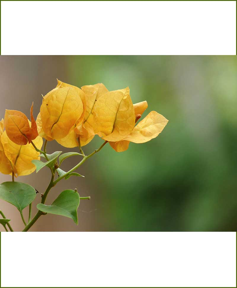 Bougainvillea Gold