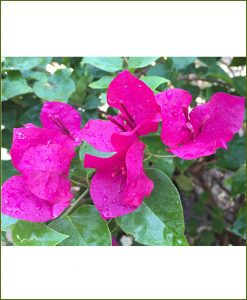 Bougainvillea-Magenta_Mashrita_Nature_Cloud