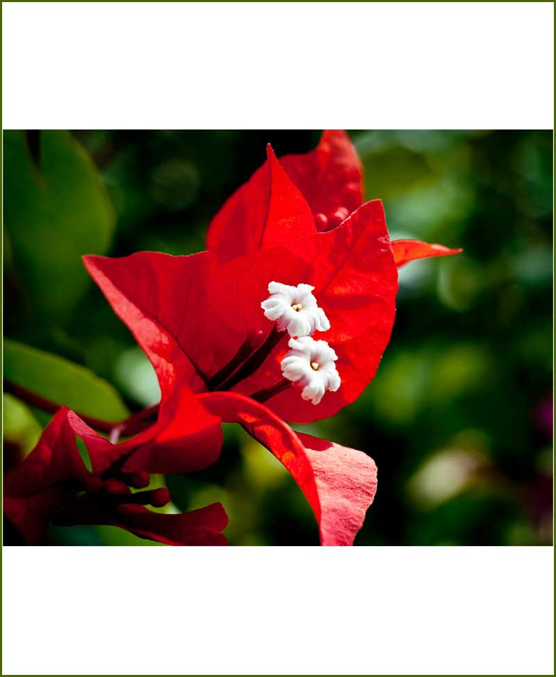 Bougainvillea Red_Mashrita_Nature_Cloud