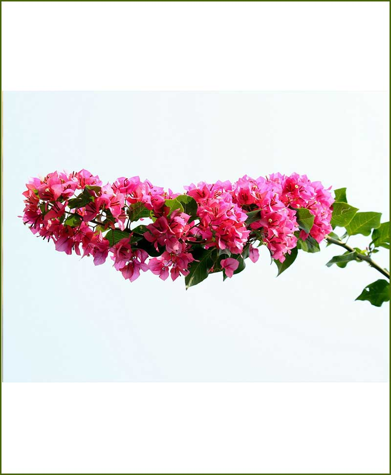 Bougainvillea Torch Glow_Mashrita_Nature_Cloud