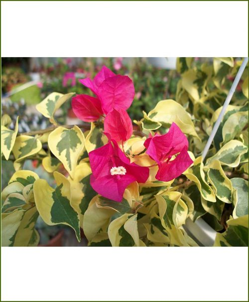 Bougainvillea Variegated Gold