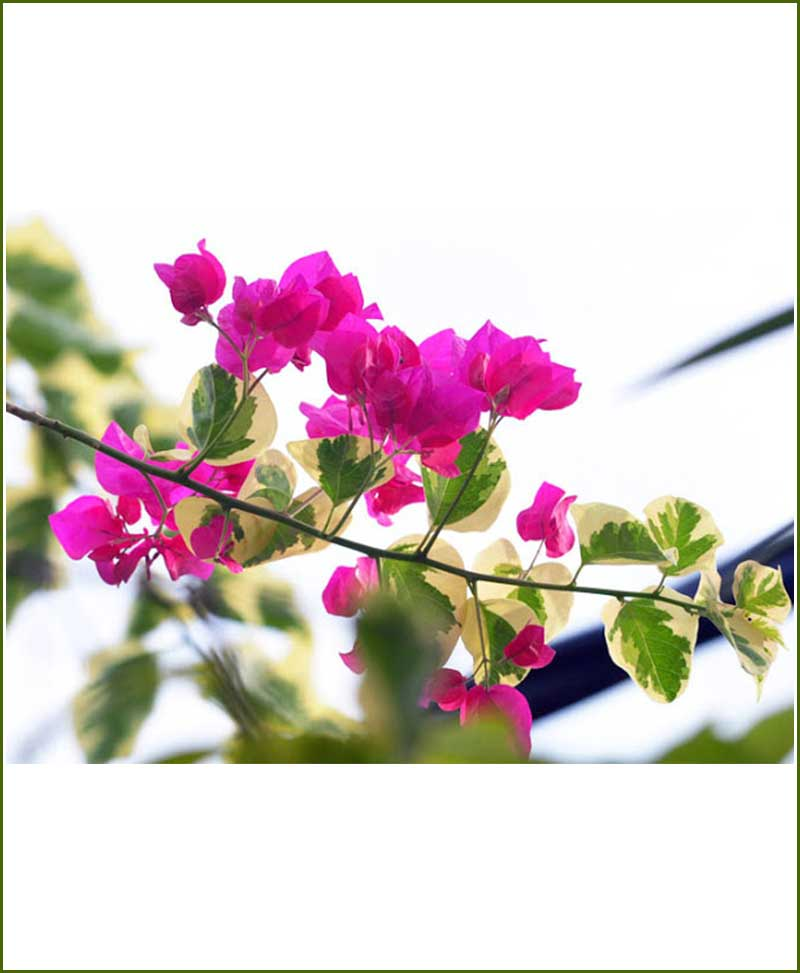 Bougainvillea Variegated