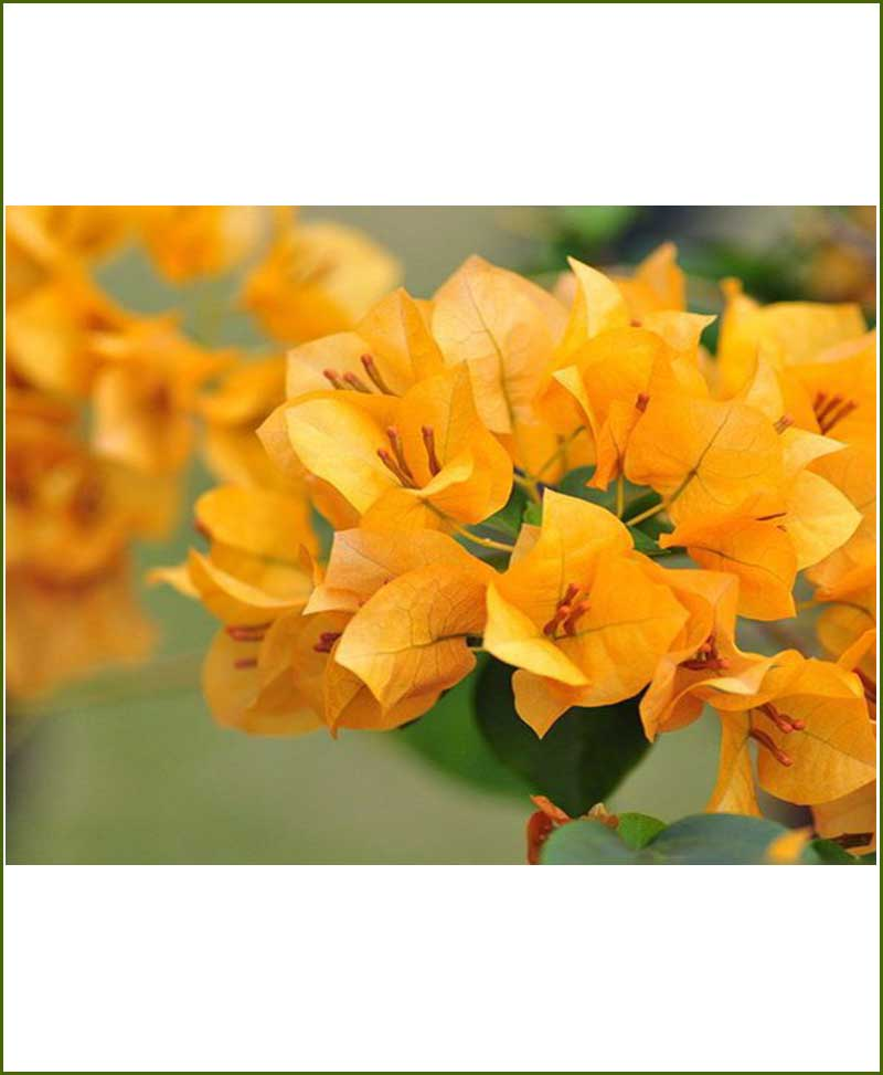 Bougainvillea Yellow_Mashrita_Nature_Cloud