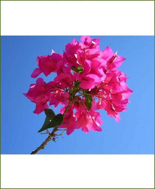 Bougainvillea-dwarf_Mashrita_Nature_Cloud