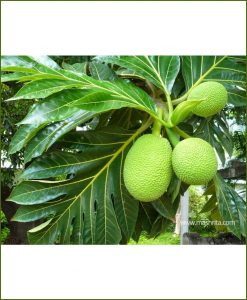 Breadfruit-(Artocarpus-Altilis)_Mashrita_Nature_Cloud