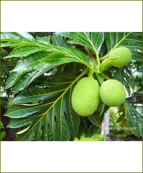 Breadfruit-(Artocarpus-Altilis)_Mashrita_Nature_Cloud