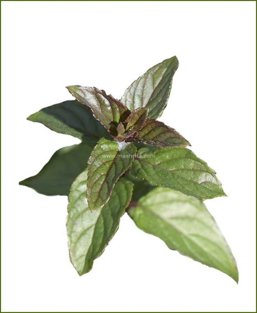 Buy-Peppermint-Potted-Plant-(Mentha-Piperita)
